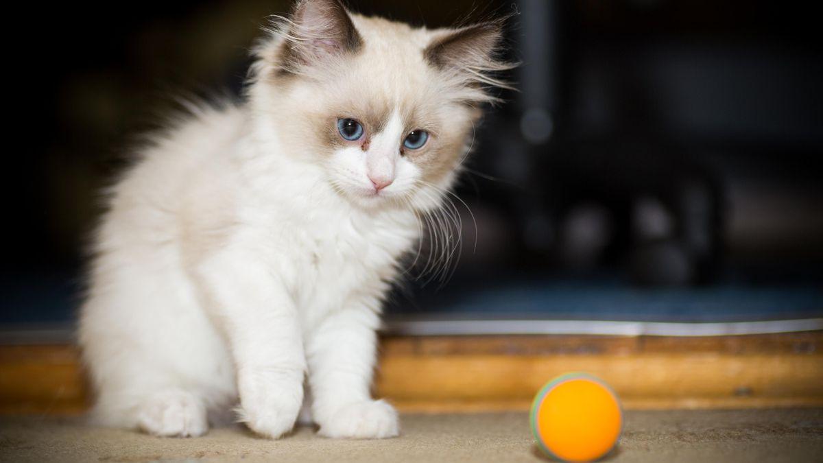 बिल्ली का बच्चा अध्ययन के बाद कोविद को पकड़ने के बाद मर जाता है, मानव-से-बिल्ली ट्रांसमिशन के अधिक साक्ष्य को उजागर करता है