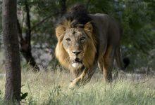 भारतीय चिड़ियाघर में दूसरे शेर की कोविड-19 से मौत और 10 और का अभी भी संक्रमण का इलाज चल रहा है