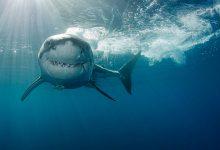 महान सफेद दृश्य ऊपर हैं – लेकिन आप सामान्य ज्ञान के साथ शार्क के हमले से बच सकते हैं, विशेषज्ञों का कहना है